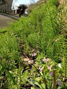 20150302_城山登山野の花